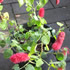 Semi Shade Plants - Chenille Plant