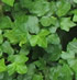 Shade Loving Plants - Ivy