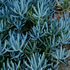 Full Sun Plants - Blue Chalk Sticks