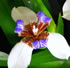 Exotic Plants - Brazilian Walking Iris- Blue