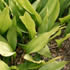 Perennial Plants - Cast Iron Plant