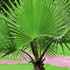 Palm Plants - Cotton Palm