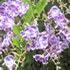Annual Plants - Duranta-Mauve/White