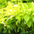 Shrubs - Duranta-Gold