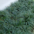Evergreen Plants - Mini Mondo Grass