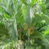 Palm Plants - Golden Cane Palm