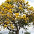 Exotic Plants - Tree of Gold