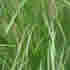 Evergreen Plants - Lomandra, River Reed