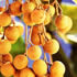 Tropical Fruit Trees - Longan
