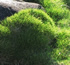 Evergreen Plants - No Mow Grass