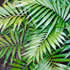 Evergreen Plants - Parlour Palm