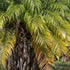 Full Sun Plants - Dwarf Date Palm