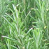 Evergreen Plants - Rosemary