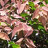 Bird Attracting Plants - Small Leaved Lillypilly