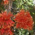 Australian Native Plants - Wheel of Fire Tree