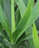 Container Plants - Yucca
